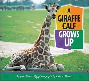 Cover: A Giraffe Calf Grows Up