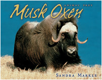 Cover: Musk Oxen